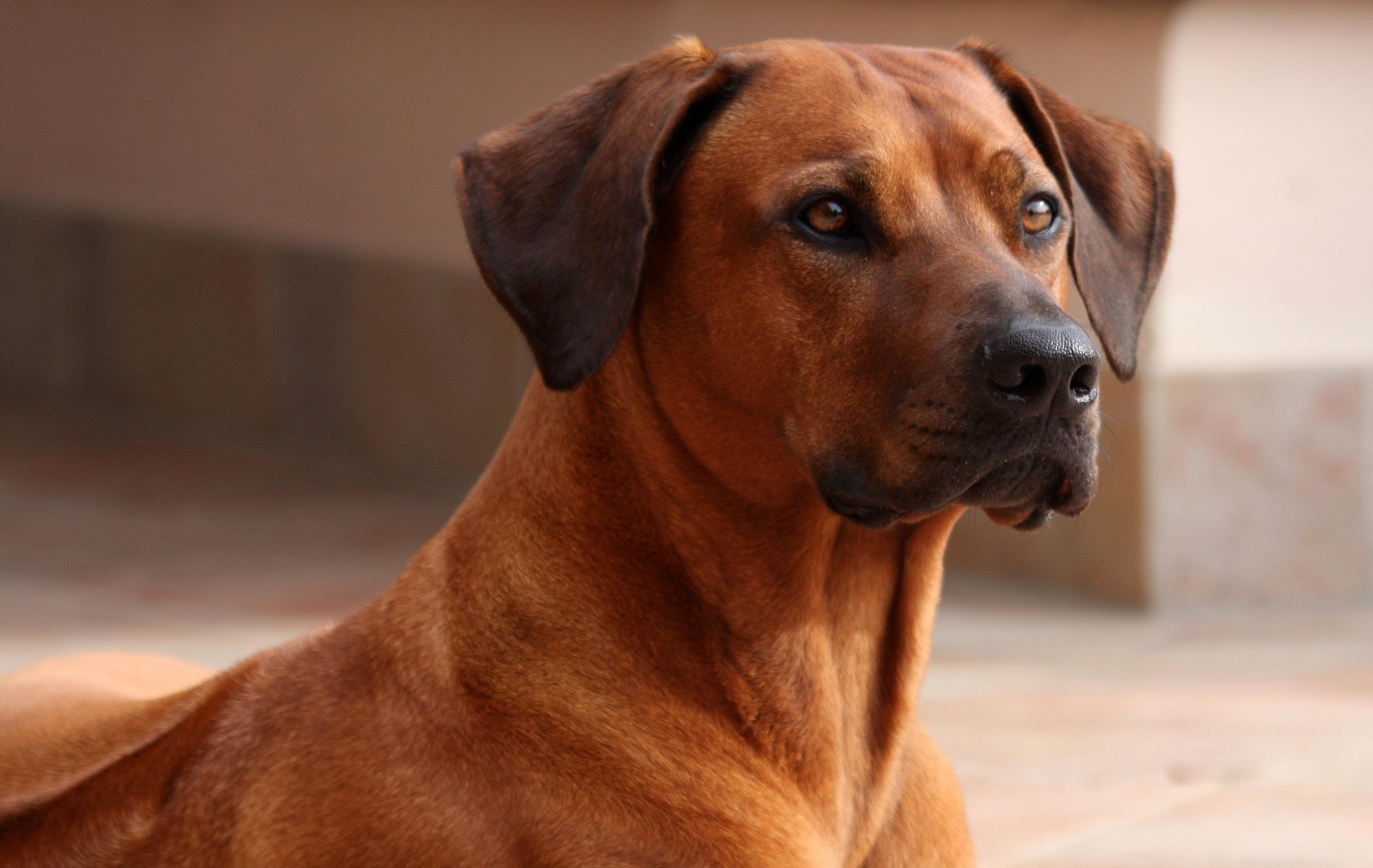Zola the Rhodesian Ridgeback Girl | …a big dog's life!
