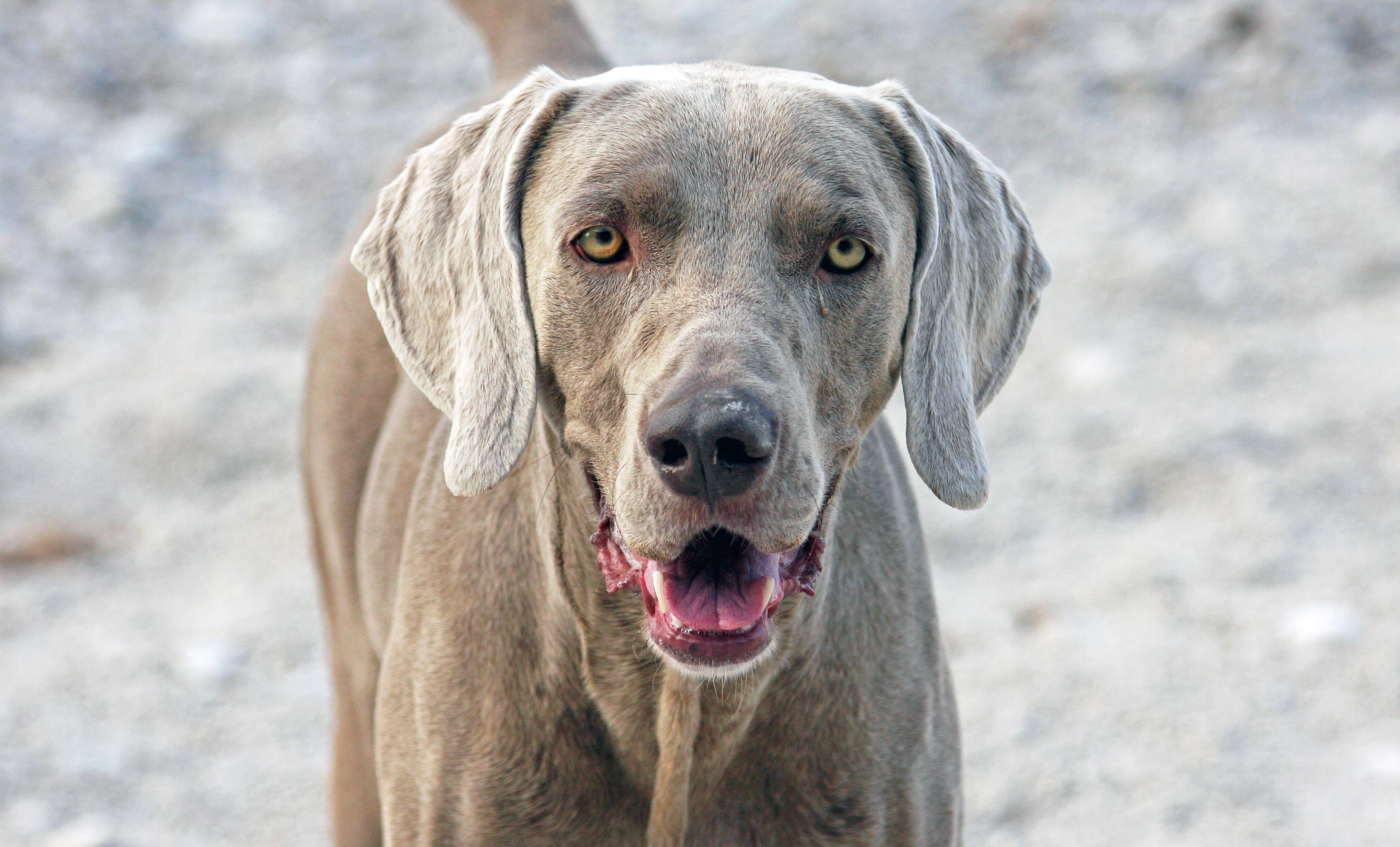 A Whisper to Weimaraner Othello | Zola the Rhodesian ...